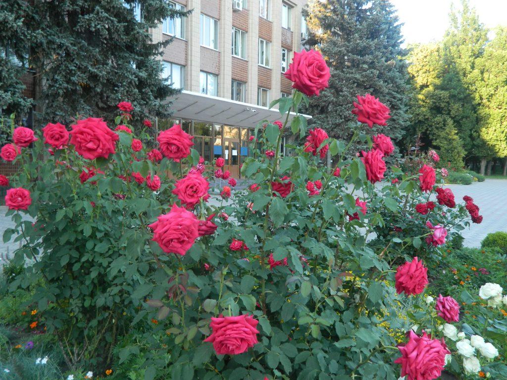 Звенигородку стали називати містом троянд