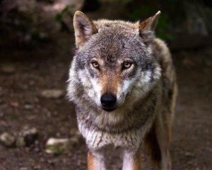 В Чорнобильські ліси повертаються тварини, яких не було понад 100 років